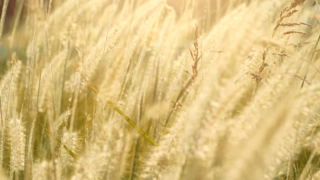 Dry feather grass in the sun lights in the summer sunset swinging in the wind. Small depth of field video