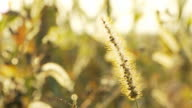 HD DOLLY: Dry Grass Flower At Sunset video