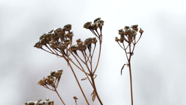 dry grass  in snow winter nature branch field landscape wind video