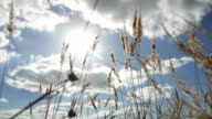dry grass on a background of blue sky in the ears of nature landscape video