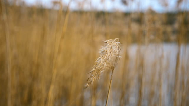 Dry grass on the lake video