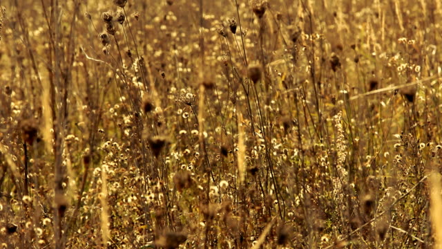 Dry grass on the meadow. Autumn season. video
