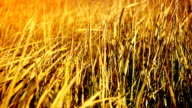 Dry grass on the wind. Autumn season. video
