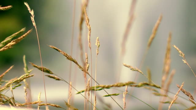 Dry grass spike at autumn meadow. Furry spike grass in morning light video