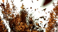 HD: Dry Leaves Falling Off A Tree video
