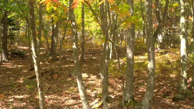 CLOSE UP: Dry leaves on forest floor and lush fall foliage on treetops in forest video