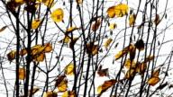 Dry leaves on the wind,autumn season. video