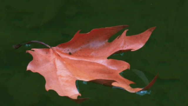 Dry maple leaf floating on water in pond stream, autumn. video