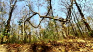 Dry season and Dead tree in Thailand video