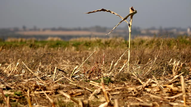 Dry stalk of the maize on field. Autumn village. video