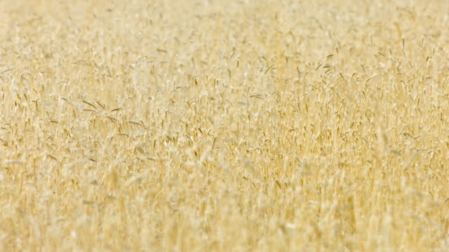Dry Tall Grass Selective Focus video