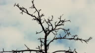 Dry tree branches against the sky video