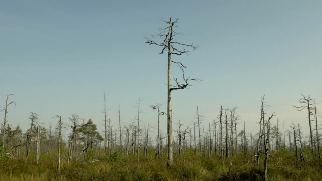 Dry tree in the forest after fire. Autumn daytime. Smooth dolly shot. video
