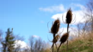 Dry Wild Teasel and Sky. video