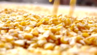 Drying of corn in the field. video