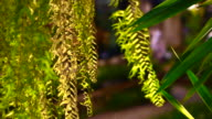 Drynaria quercifolia, Oakleaf fern. Green tropical hanging special basket kind of fern video