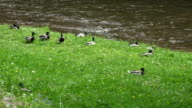 Duck birds on green meadow grass of river shore. video