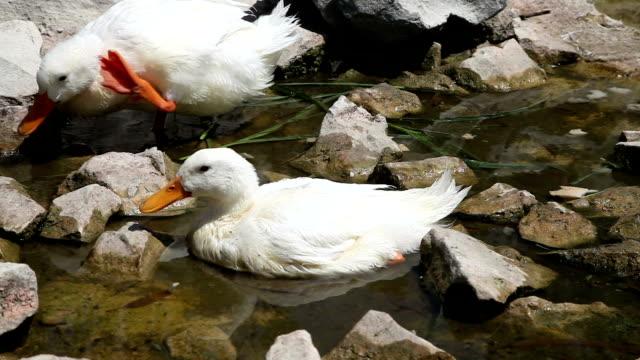 Duck Couple video