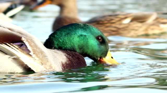 Duck Eating Fish video