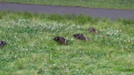 Duck family on clover field video