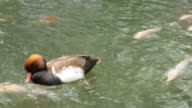 Duck in a Pond video