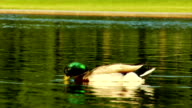 Duck in Reflecting Pool Close Up video