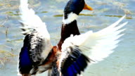 Duck is Spreading its Wings by a Beautiful Natural Lake video