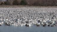 Duck Migration 002 1080p24 video