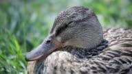duck on grass video