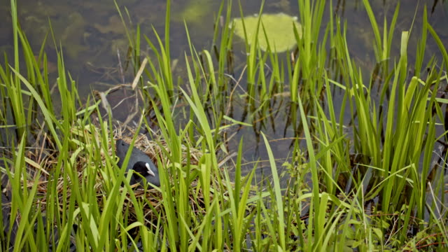 duck sitting on eggs in the grass. video
