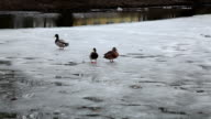 Duck slips on the ice of the half frozen river video