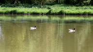 duck swimming in pond video