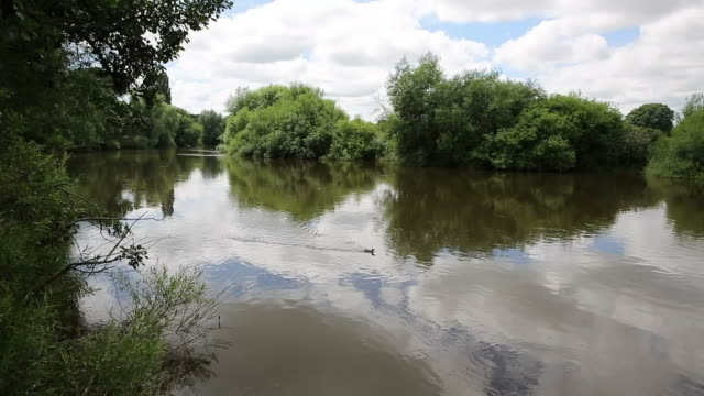 Duck swimming River Wye in Ross-on-Wye Herefordshire England uk video