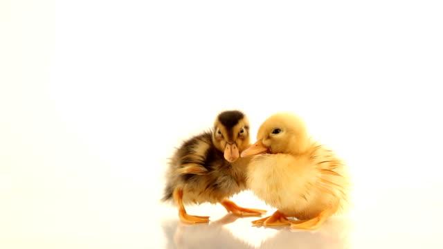 Duckling three days video
