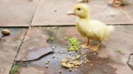 Ducklings eating food. video