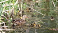 Ducklings learning to forage for food video