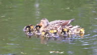 Ducklings swimming with the mother duck video