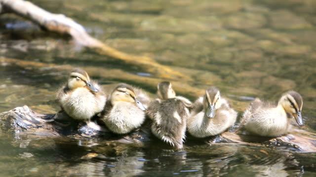 Ducklings video