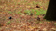 Ducks and Squirrel at the Forest in Autumn video