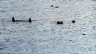 Ducks Feeding In American River Sacramento California Tails Up video