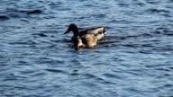 Ducks feeding In American River Sacramento California video