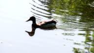 Ducks in the Marsh Pond video