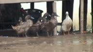 Ducks in the  rain video