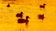 Ducks in Water During Sunset video