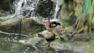 Ducks Next to a Waterfall video