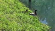 Ducks next to the river video