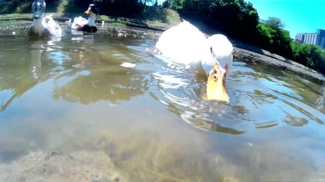 Ducks on a Beautiful Natural Lake video