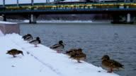 Ducks on a winter promenade near the bridge video
