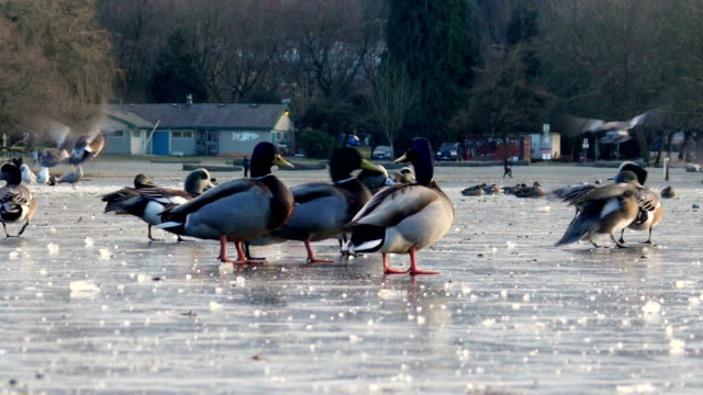 Ducks on an icy lake video