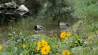 Ducks On The River video